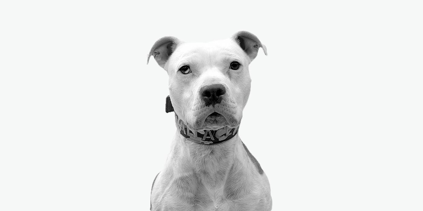 Уеб сайт дизайн за фондация за кучета Wallace The Pit Bull